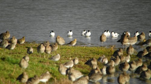 Avocet and Golden Plover