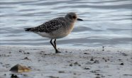 Grey Plover on the River Taw near Ashford