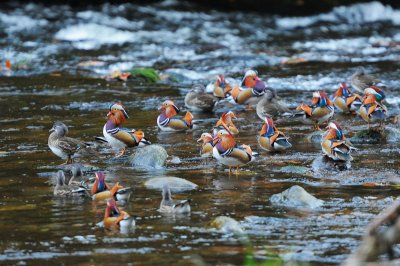Mandarin Ducks Tom Wallis, R Dart, Dartmoor 8.11.2012