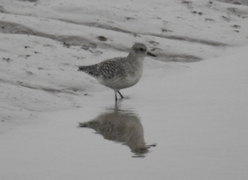 Grey Plover at Fremington Pill mouth