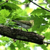 Wood Warbler with leg rings