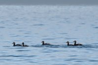 5 of the Velvet Scoters