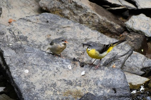 Grey Wagtail & chick