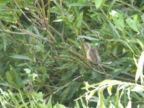 Record shot of wryneck