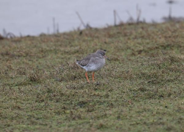 Spotted Redshank BGM 27032016