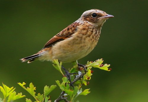 Young Whinchat