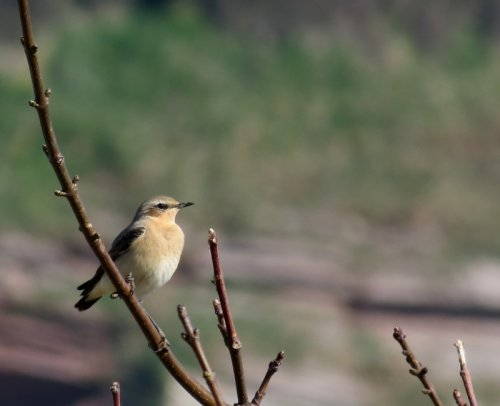 Wheatear. J.Marshall