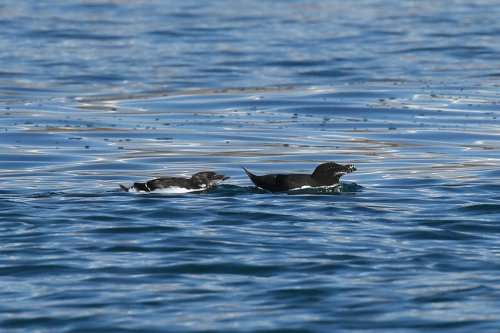 Adult and (dependant?) juvenile razorbills near Berry Head