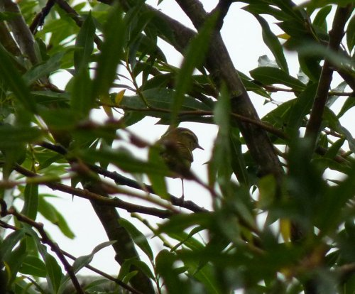 Yellow-browed Warbler - not the easiest species to photograph!