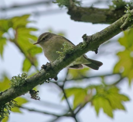 Chiffchaff - odd song BH 7 May 2013 ML