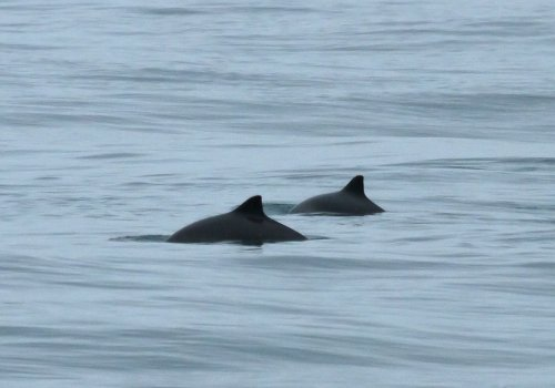 Porpoises south of Berry Head