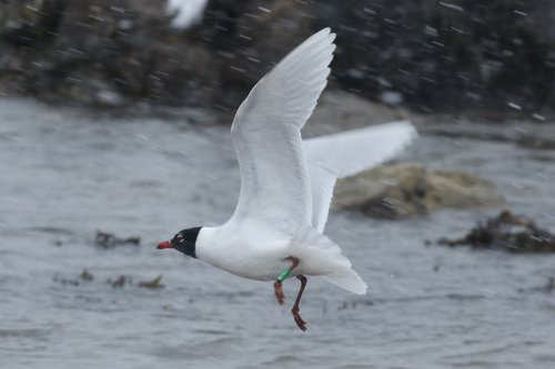 Mediterranean Gull, summer adult