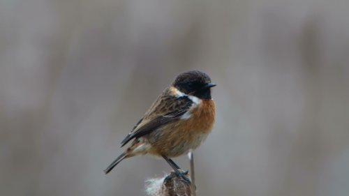 Stonechat which was also around the reed-beds