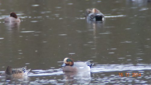 Possible Hybrid Wigeon x American wigeon