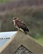 Buzzard on Barn roof.
