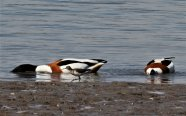 Sandpiper and Shelduck