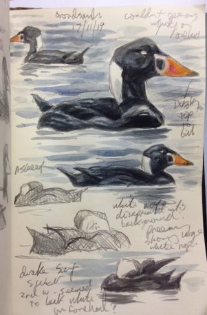 Surf Scoter Drake Broadsands 17 Nov 2019