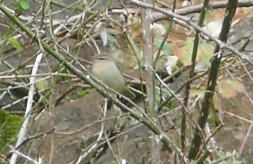 Dusky Warbler Berry Head Devon 31 Oct 2016 ML