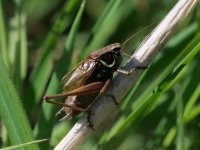 Roesel's Bush-cricket male