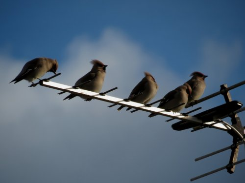 All 5 Waxwings, J.Marshall