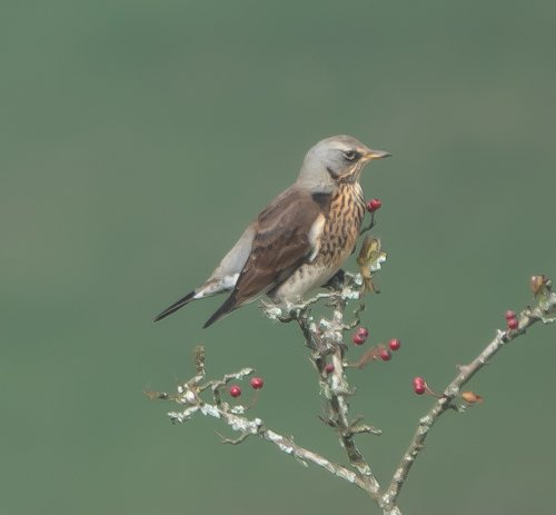 Fieldfare -South Brent -23.10.2019