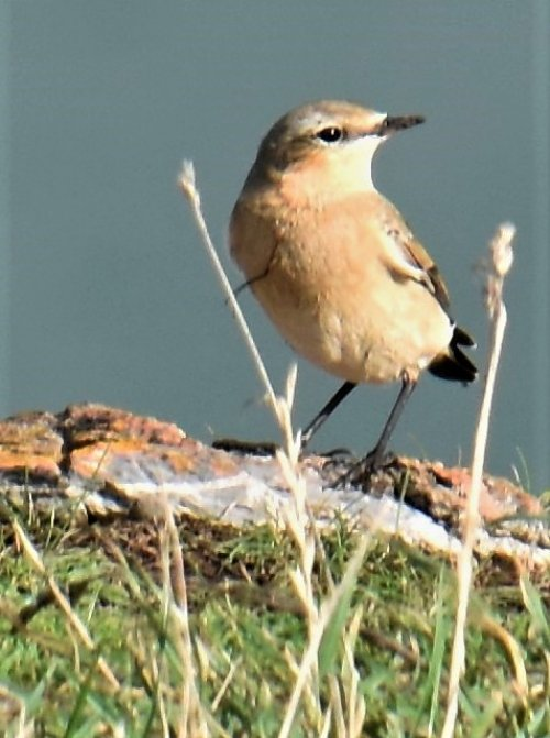 Wheatear with line in chest