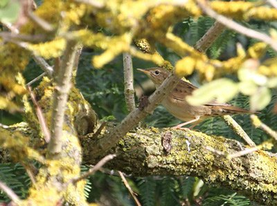Grasshopper Warbler by Chris Townend