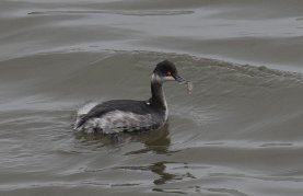 Black-necked Grebe with fish