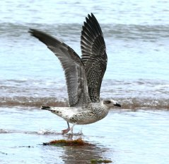 juv Yellow-legged Gull Broadsands 3rd Aug 2015 ML