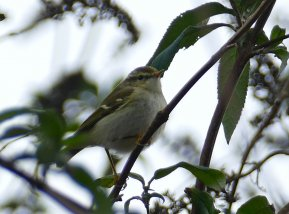 Yellow-browed Warbler Clennon Lakes 27 Dec 2016 ML2