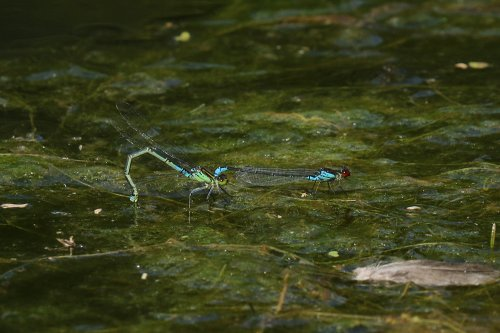 Small red-eyed damselfly, ovipositing pair