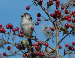longtailed Tit Berry hd 04/10/12