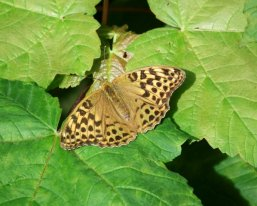 Silver-washed Fritillary (f)