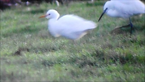 Cattle Egret and Little Egret