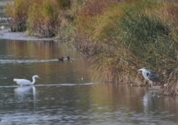 Distant shot of GWE and unimpressed Grey Heron
