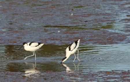 Avocets on the Otter by Chris Townend