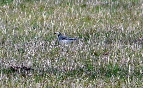 white wag from 9/9