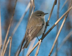 Greyish Chiffchaff Broadsands 10 Dec
