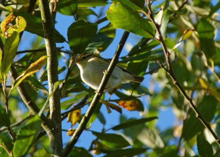 yellow-browed Warbler Clennon Valley 19 Nov 2013 ML