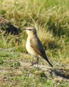 Female Northern Wheatear at Baggy Point
