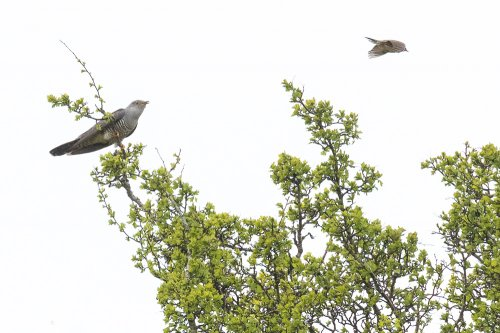 Cuckoo and Meadow Pipit