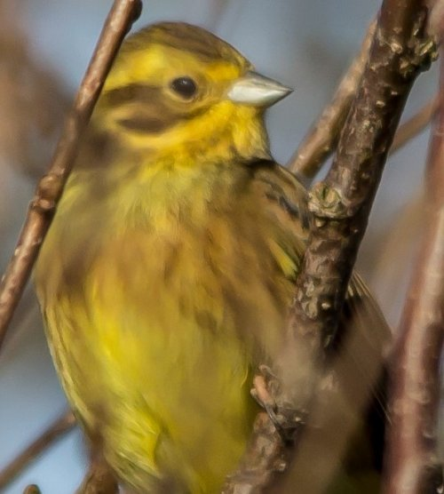 Yellowhammer -Blackdown Rings- 02.02.15
