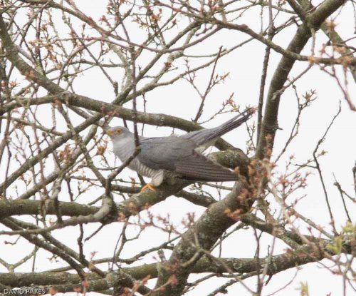 Cuckoo - Dockwell,South Brent - 23.4.17