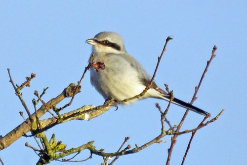Great Grey Shrike (c) Peter Woods