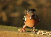 Male Chaffinch with leg problems