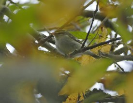Yellow-browed Warbler Clennon Lakes 9th Nov 2020 ML