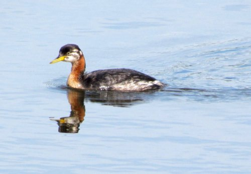 Juvenile red necked grebe
