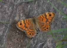 Wall Brown, looks like a female