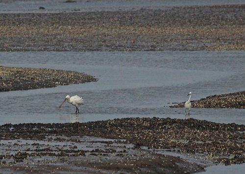 Juv. Spoonbill at Mudbanks Exmouth 09:00