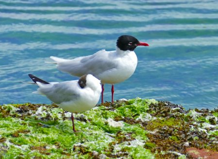 Mediterranean & Black-headed Gull Preston Beach 11 July 2016 ML